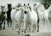 เกมส์ต่อจิ๊กซอฝูงม้าขาว